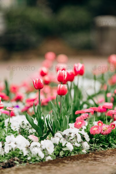 Field of blooming tulips. Wallpaper of flowers. Wallpaper of tulips.