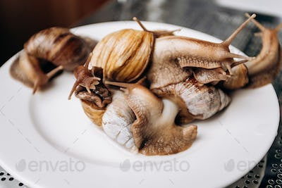 Live snails on a white plate ready to cook