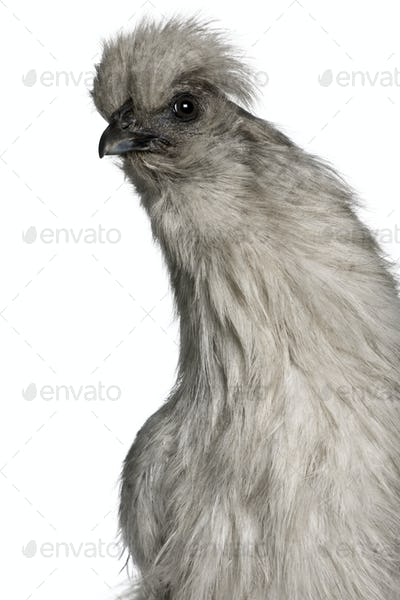 Grey Silkie hen, 1 year old, standing in front of white background