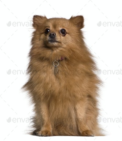 Spitz dog, 3 years old, sitting in front of white background
