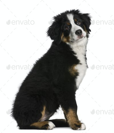 Bernese mountain dog Puppy, 5 months old, sitting in front of white background
