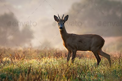 Interested roe deer buck watching on a field wet with dew in the morning