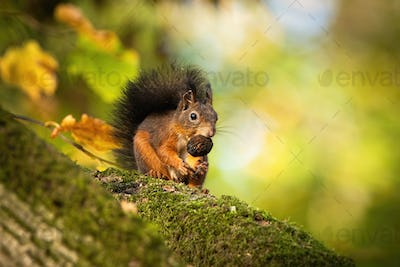 Red squirrel sitting on a moss covered branch and holding a nut in autumn