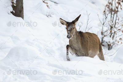 Red deer, cervus elaphus, hind in walking through snow in winter