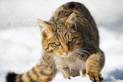 Wild european wildcat approaching on snow in winter