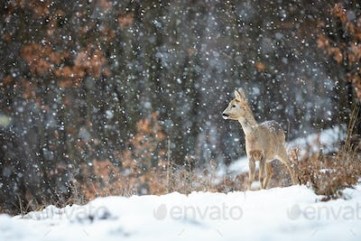 Female roe doe standing on a meadow covered with snow and forest in background