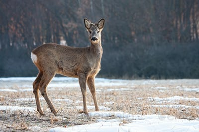 Young roe deer back with small antlers standing and looking to camera in winter
