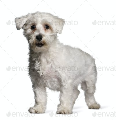 Maltese dog, 1 year old, standing in front of white background