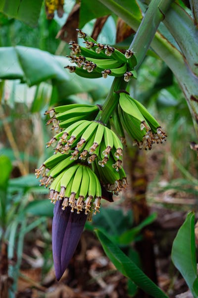 Close up of Banana fruits on the trekking route in a Paul valley on Santo Antao, Cape Verde