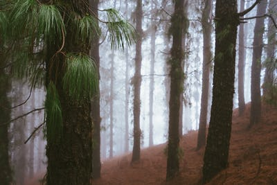 Mysterious foggy pine forest. Rainy and misty weather near Cova crater on Santo Antao Island, Cape