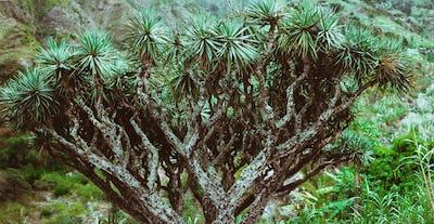 Dragon Tree on Santo Antao, Cape Verde Cabo Verde