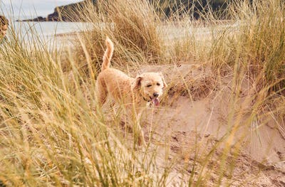 Pet Dog Exploring Sand Dunes On Winter Beach Vacation