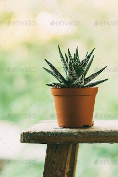 Aloe aristata in a pot outdoors