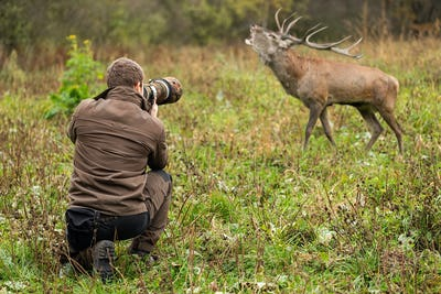 Male wildlife photographer taking pictures of red deer stag roaring on a meadow