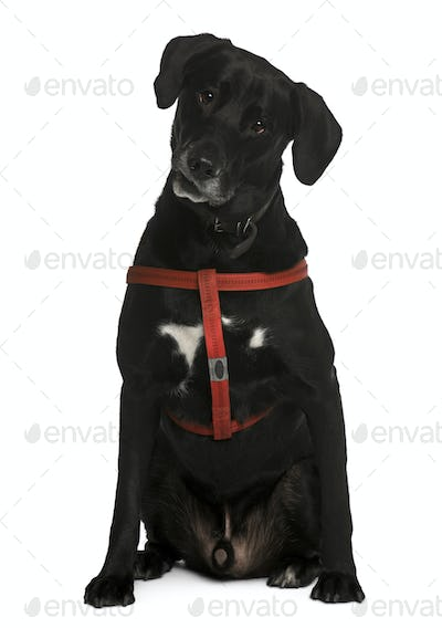 Labrador, 5 years old, sitting in front of white background