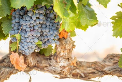 Vineyard with Lush, Ripe Wine Grapes on the Vine Ready for Harvest