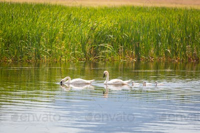 Family of Swan Swimming in the Water.