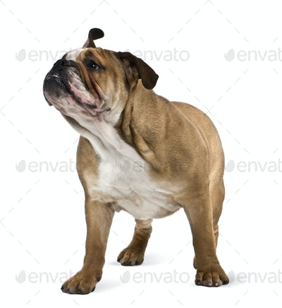 English bulldog, 9 months old, standing in front of white background