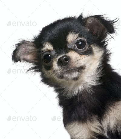 Chihuahua puppy, 4 months old, standing in front of white background