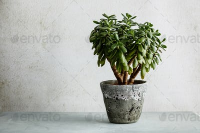 Houseplant Crassula ovata jade plant money tree opposite the white wall.