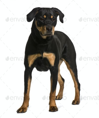 Rottweiler, 7 months old, standing in front of white background