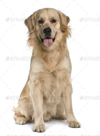 Labrador, 15 months old, sitting in front of white background