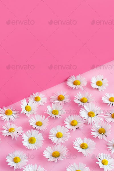 White daisies on a pink background