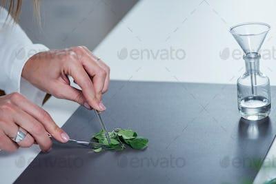 Homeopathy. Homeopath preparing herbal remedies