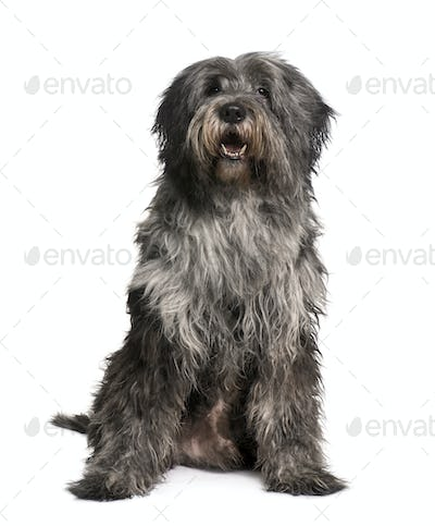 Breader Collie, 10 Months old, sitting in front of white background