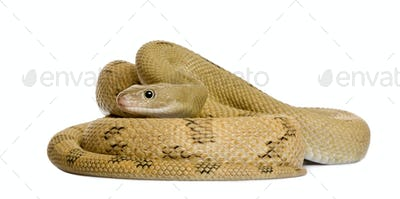 Trans-Pecos rat snake, Bogertophis subocularis, curled up in front of white background