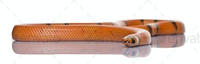 Honduran milk snake, Lampropeltis triangulum hondurensis, slithering in front of white background