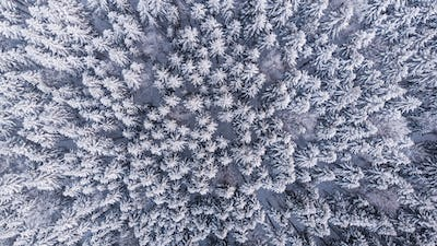 Winter Woderland Snowy Pine Trees in Wild Woodland. Aerial Top Down View