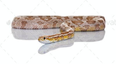 Corn snake or red rat snake, Pantherophis guttatus, slithering against white background