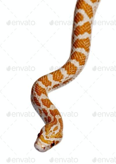 Corn snake or red rat snake, Pantherophis guttattus, slithering against white background