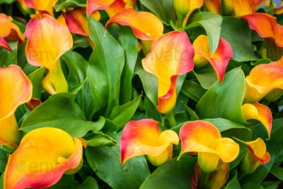 Bouquet of multicolored calla lilies. Floral pattern
