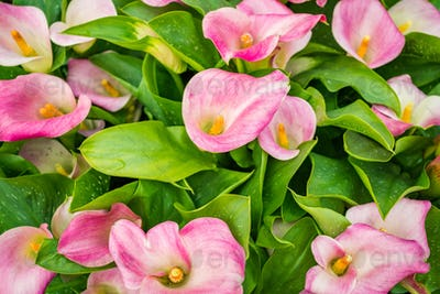 cala lily pink flower background