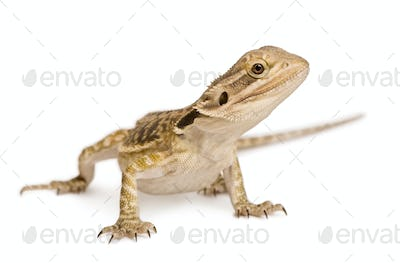 Lawson's dragon, Pogona henrylawsoni, against white background
