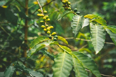 Cultivated local coffe plantage. Branch with green coffee beans and foliage. Santo Antao Island