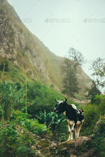Black and white cow grazing in mountains. Domestic animal on Santo Antao, Cape Verde