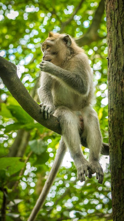 Long-tailed macaques sitting on an Tree, Macaca fascicularis, in Sacred Monkey Forest, Ubud