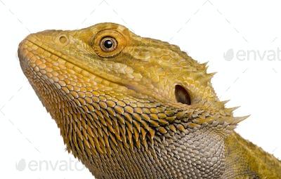 Close-up of Lawson's dragon, Pogona henrylawsoni, against white background