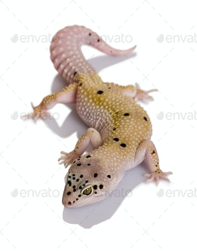 Bell albino bolt strip leopard gecko, Eublepharis macularius, against white background