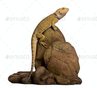 Lawson's dragon, Pogona henrylawsoni, perched on rock against white background