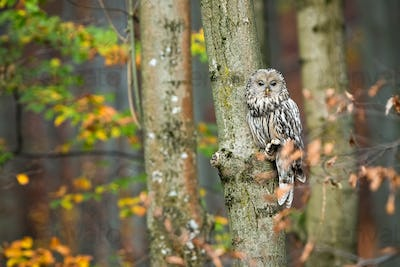 Cute ural owl sitting on tree and hiding behind leafs in autumnal forest