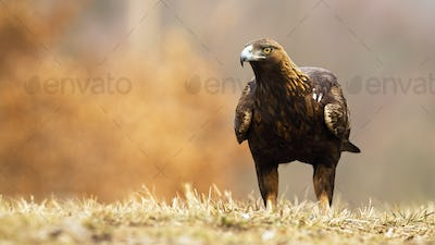 Golden eagle, aquila chrysaetos, with brown plumage and powerful beak