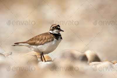 Little ringed plover standing on a rocky beach in summer