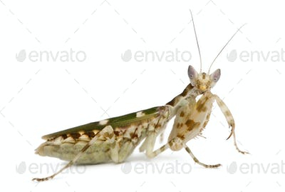 Creobroter or Flower Mantis, 1 month old, against white background
