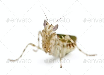 Creobroter or Flower Mantis, 1 month old, in front of white background