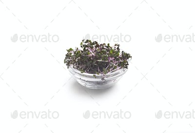 Purple Microgreen growths in a glass plate on white