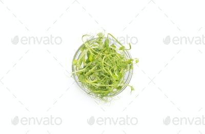 Young microgreen sprouts in glass palate isolated on white